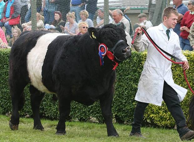 BROADMEADOWS JAMIE, CHAMPION BULL AND RESERVE BREED CHAMPION IN GRAND PARADE GYS 2016