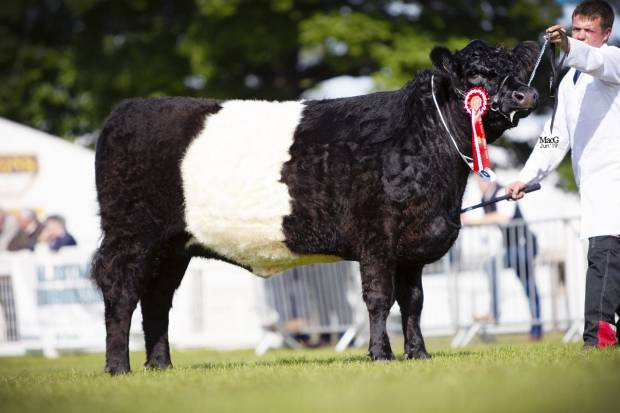 Royal Highland Show 2019 - Champion Junior Heifer and Reserve Champion Female