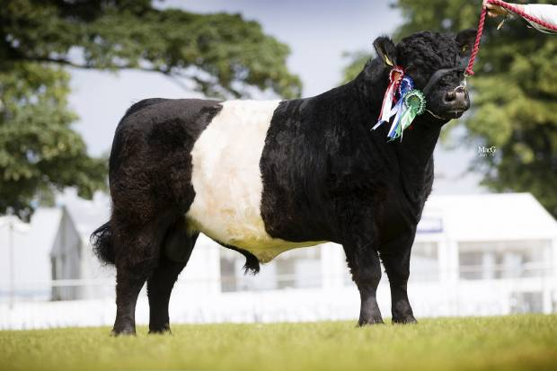 Royal Highland Show 2019 - Champion Yearling Bull and Reserve Champion Bull